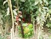 秋红李树苗多少钱一棵\澳门其它地区秋红李树苗
