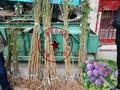 南京珍珠李子树苗哪里的好2018最新报价图片