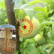 威海桃型李子苗今年報價訂購熱線圖片