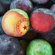 海拉爾4公分李子樹供應商質優價廉圖片
