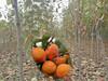 高產6公分柿子樹苗6公分柿子樹苗供應