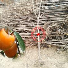 9cm柿子树、4cm柿子树苗、4cm柿子树苗批发图片