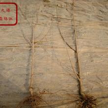 新疆博尔塔拉州7公分吉塞拉樱桃苗采购热线质优价廉图片