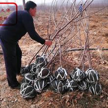 山西忻州冰糖樱樱桃苗价格实惠2018最新报价图片