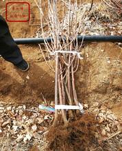 江西上饶5公分樱桃树苗出售订购热线图片