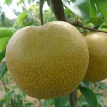 日本蜜梨梨樹苗、天津綠寶石梨樹新品種價格基地圖片