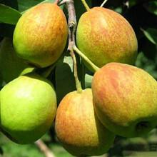 梨苗、福建阿巴特梨樹一棵的價錢圖片