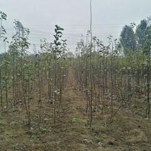 3公分梨樹苗、海南紅梨樹真正適合南方種植的品種圖片