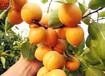 茂名優一杏樹苗培育基地、青蜜沙杏苗種植技術