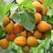 駱駝黃杏樹苗報價一覽表駱駝黃杏樹苗品種
