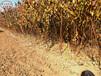 5cm杏树苗定购热线5cm杏树苗品种