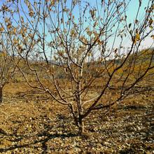 3公分杏樹苗、貴州2cm杏苗品種有哪些圖片