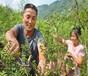 狮子头花椒树苗供应、海西2年花椒苗品种?#24515;?#20123;