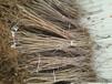 1米花椒苗品种齐全、乌兰察布1cm花椒苗厂家