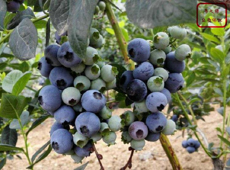 江苏芬蒂蓝莓苗货源地在那