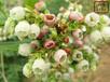 江西烏達德藍莓苗量大從優
