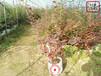 貴州陽光藍藍莓苗基地供應