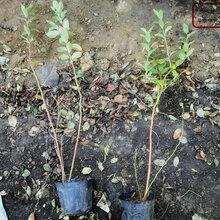 湖北开普菲尔蓝莓苗品种图片