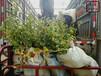 河南新千年蓝莓苗图片