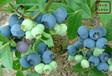 北京貴藍藍莓苗種植技術
