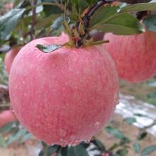 蘋果樹苗基地、蜜脆蘋果樹苗基地、蜜脆蘋果樹苗基地如何挑選圖片