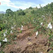 石榴苗價格、吉林2cm石榴樹主產區歡迎您圖片