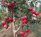 陜西軟籽石榴樹供應