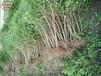 內蒙古石榴樹培育基地