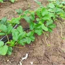 脫毒二代草莓苗、廣東紅袖添香草莓苗供應商圖片