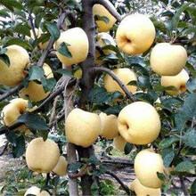 蘋果樹苗基地維納斯蘋果樹苗圖片