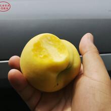 新世纪黄桃树苗价格-新世纪黄桃树苗品种图片