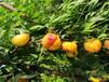 四川油蟠36-5桃樹苗哪里的正宗