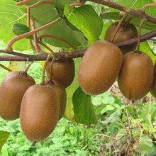 红心猕猴桃苗真正适合南方种植的品种红心猕猴桃苗品种图片
