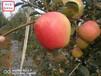 寧夏紅夏蘋果苗新品種