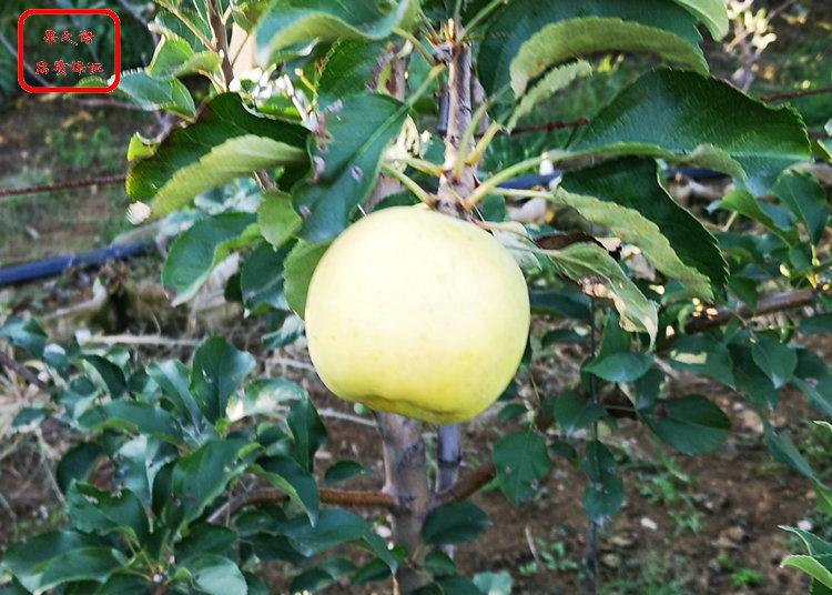津轻苹果苗供应 津轻苹果苗出售