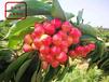 安徽1公分吉塞拉櫻桃苗供應