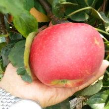 红夏苹果苗病害防治、红夏苹果苗现货图片