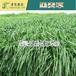 進口草籽四季高產牧草種子多年生黑麥草南北方雞鴨鵝豬牛羊魚飼料