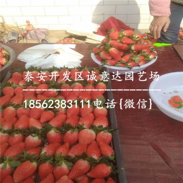 浙江天仙醉草莓苗哪里便宜、天仙醉草莓苗服务周到
