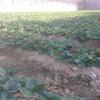 章姬草莓苗2018报价,章姬草莓苗提供种植技术,章姬草莓苗便宜供应