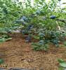 北蓝蓝莓苗天津价格