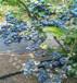 休倫藍莓苗湖北哪里便宜