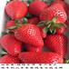 紅星草莓苗怎么賣,山西太原豐香草莓苗