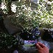 比樂西藍莓苗如何選購比樂西藍莓苗哪里出售價格低