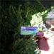 哪里有便宜50高斯衛克藍莓苗