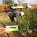 哪里有培育40高布里吉塔蓝莓苗