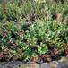 三年生奧尼爾藍莓苗批發10萬苗價格