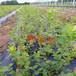 營養杯的薄霧藍莓苗需要多少錢