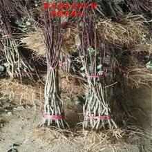 新疆和田红喜梅西西梅苗种?#24067;?#26415;图片