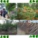 广西便宜供应香椿树苗